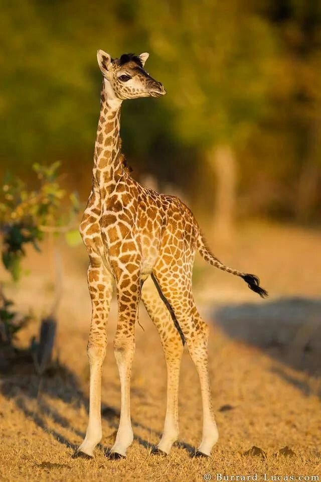 A one day old baby giraffe