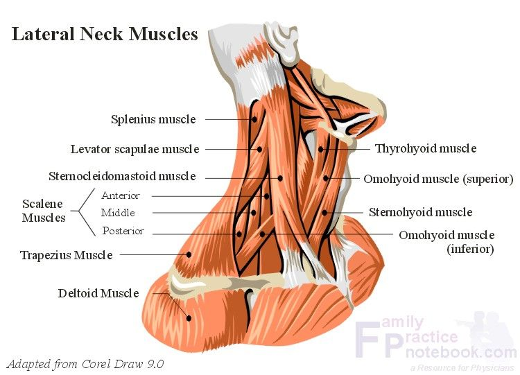 Picture Of Neck Muscles Anatomy For Sculpture The Human Neck