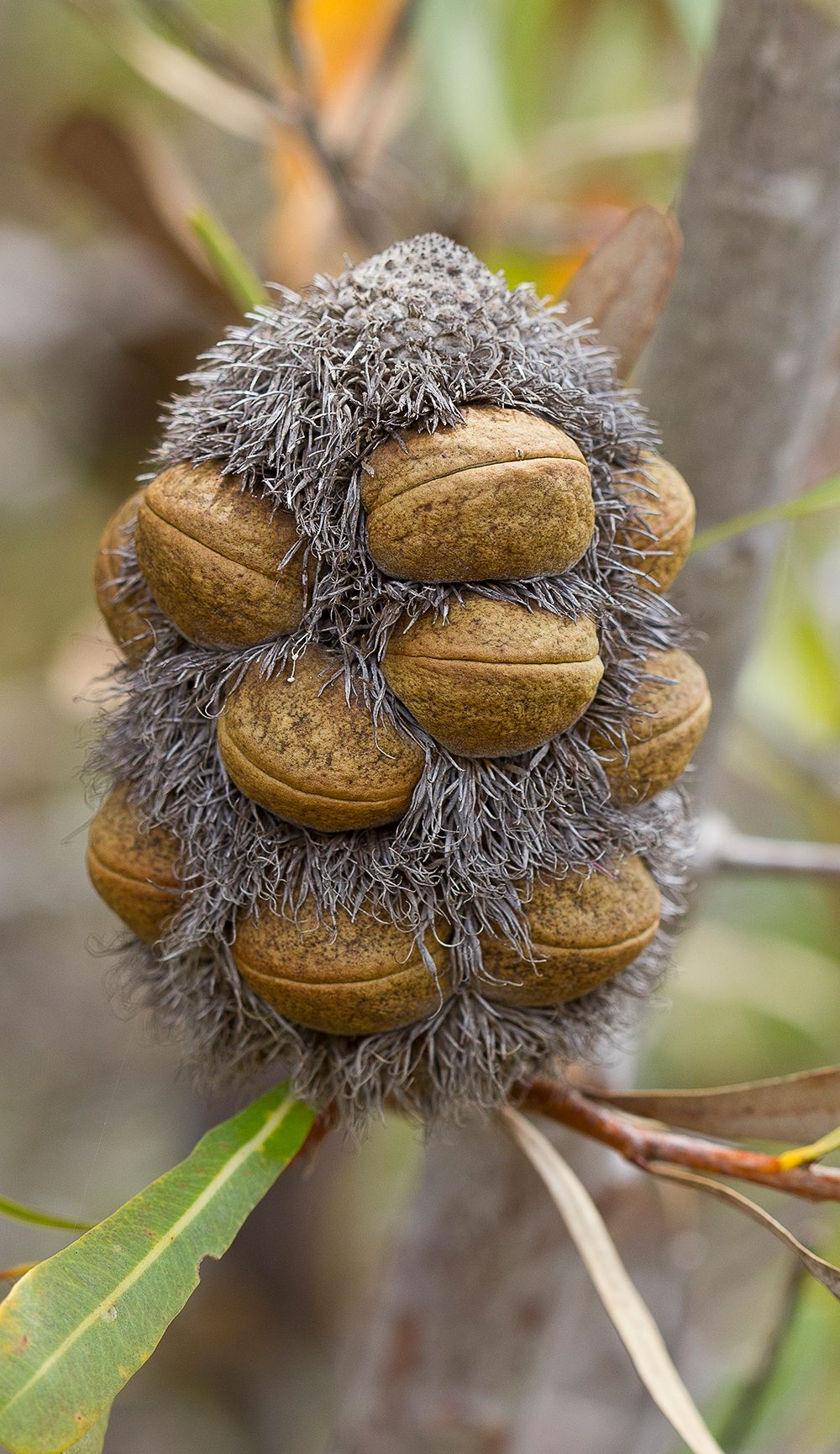 Blackmagic Seed Pods Fruit Plants Seeds