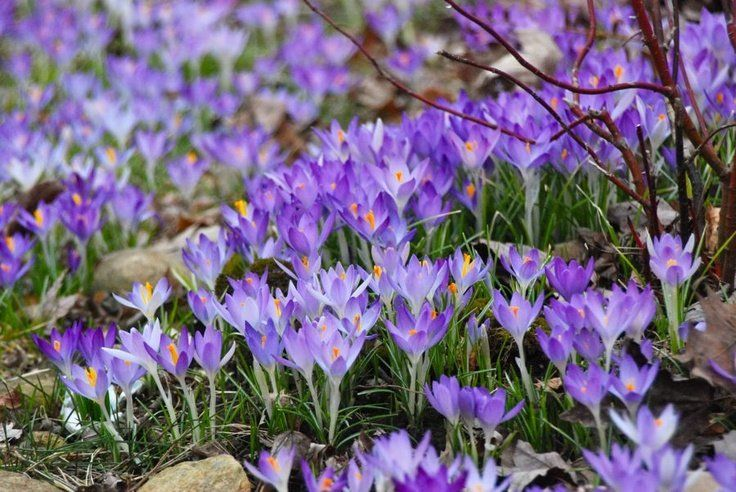 Crocus Tommasi Garden bloggers, Early spring flowers