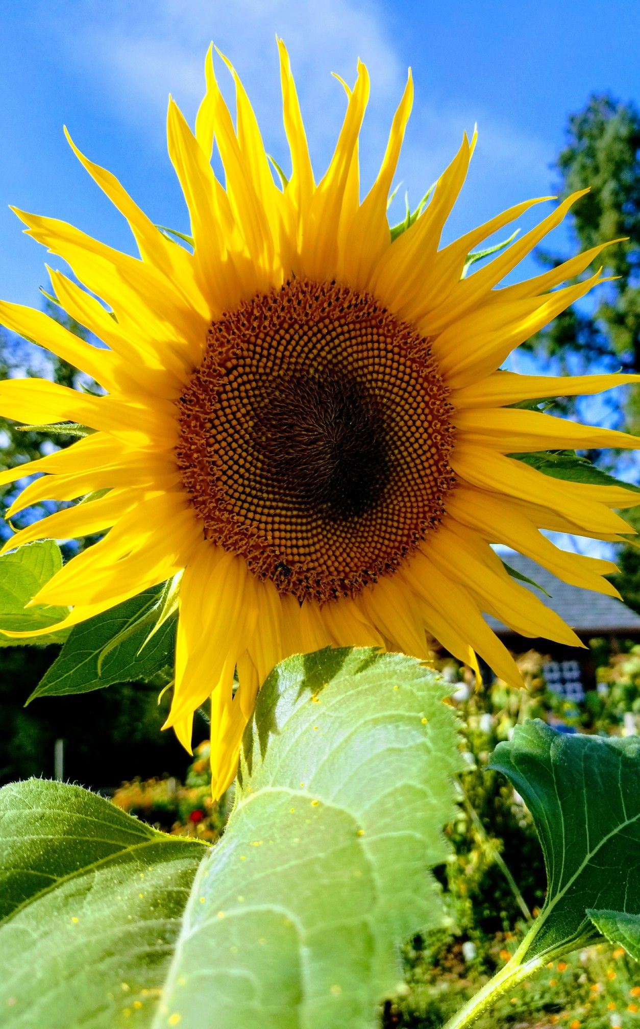 Sunflowers used for bdsm play