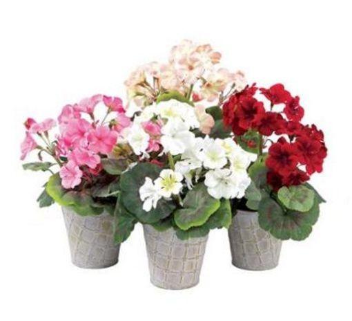 Cara Merawat Bunga Geranium Dalam Pot Geranium Bunga Tanaman