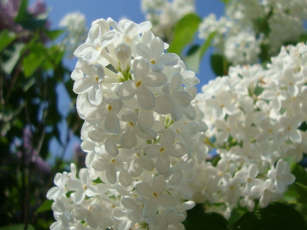 White Lilac My Favorite Flowers Pinterest Lilacs And Flowers