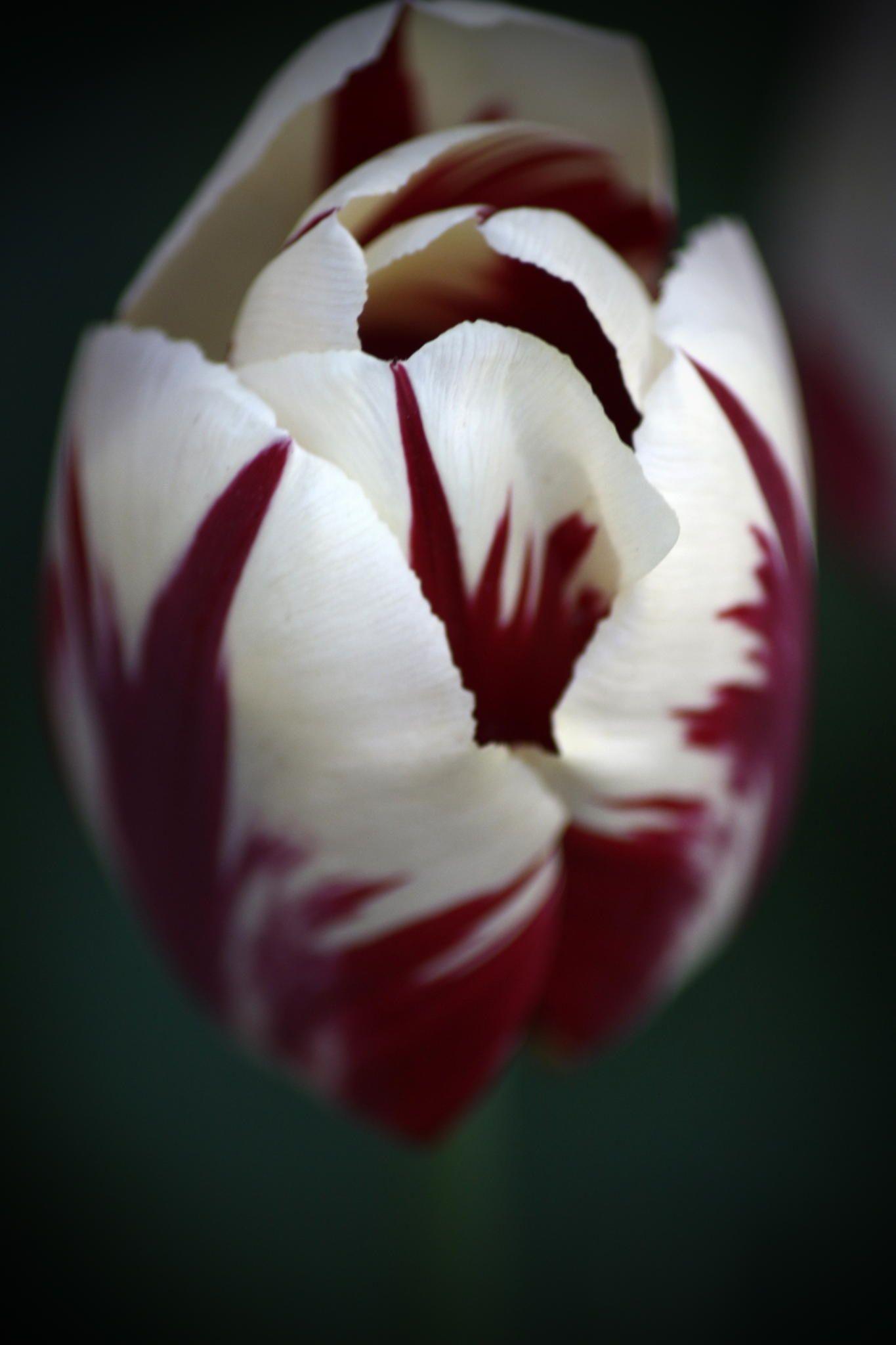 Tulips Manisa Tulips Tulipanes Turquia