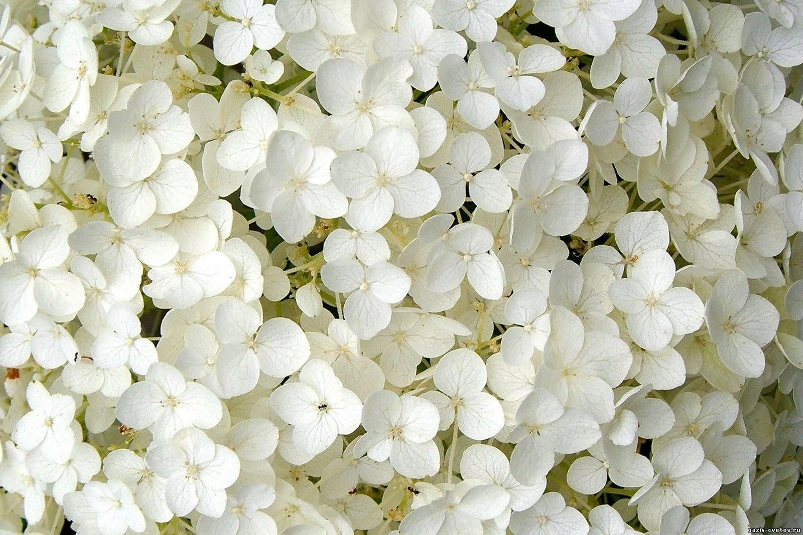 صور ورد ابيض صور زهور بيضاء بوكيه ورد ابيض Hydrangea Flowers Hydrangea Arborescens
