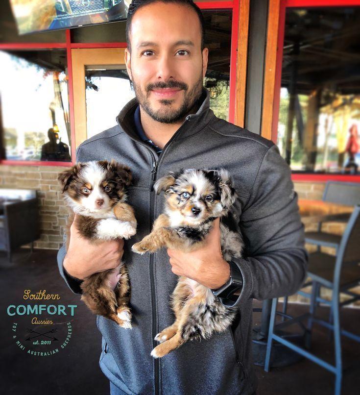 Australian shepherd puppies from southern comfort