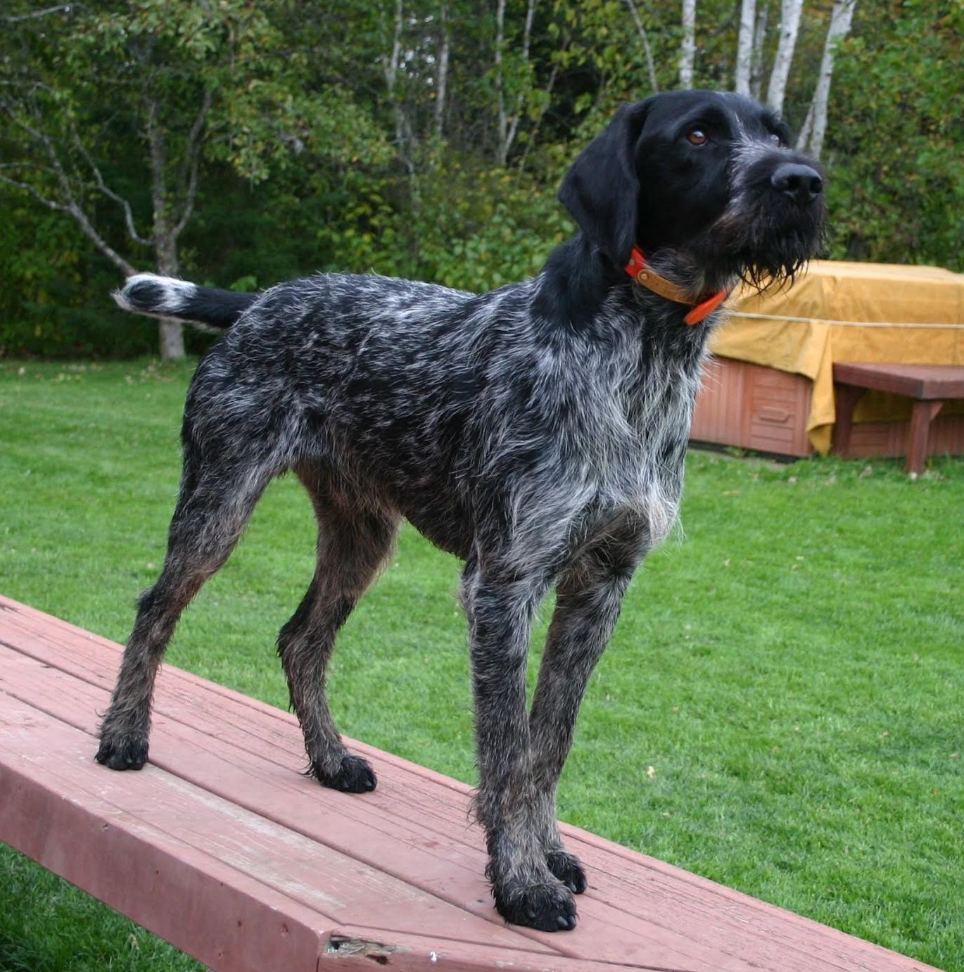 German Wirehaired Pointer Picture German wirehaired