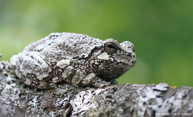 Photo of the Day: Camouflaged Tree Frog | Gray tree frog, Tree frogs