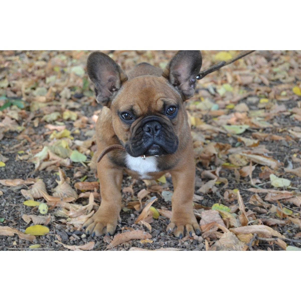 Красавчик | Matt's 26 Birthday present | French bulldog