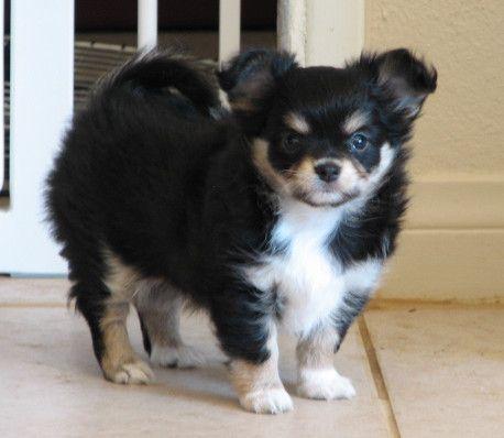 Raisin X Will Black And Tan Longcoat Chihuahua Puppy Cute