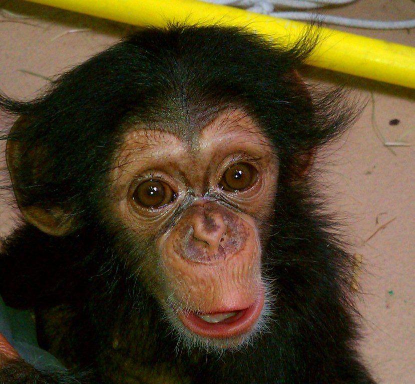 baby chimpanzee Siri -