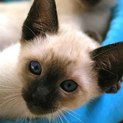 Free Siamese Kittens Siamese Kittens For Sale Siamese Cats Cat Breeder