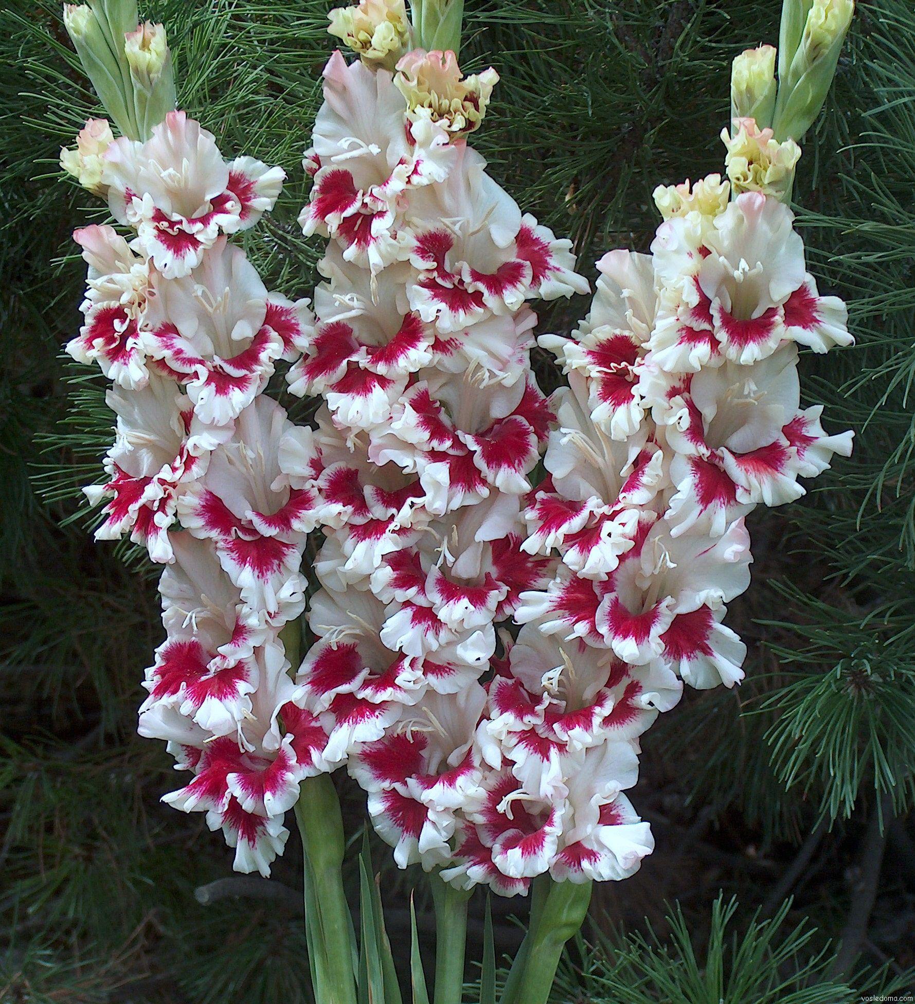 гладиолусы фото цветов в саду расписывается