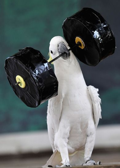 "Parrots need their exercise too! Set them up with ""feather weights"", roller-blades, skateboards, and more."