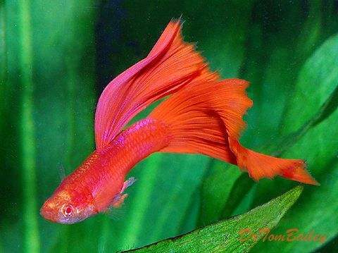 information: Guppy Fish | 359x480