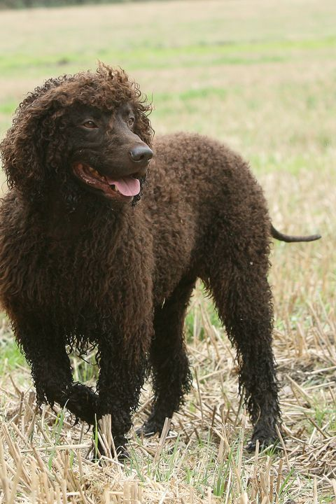 40 Best Medium-Sized Dogs | Irish Water Spaniel Refs ...