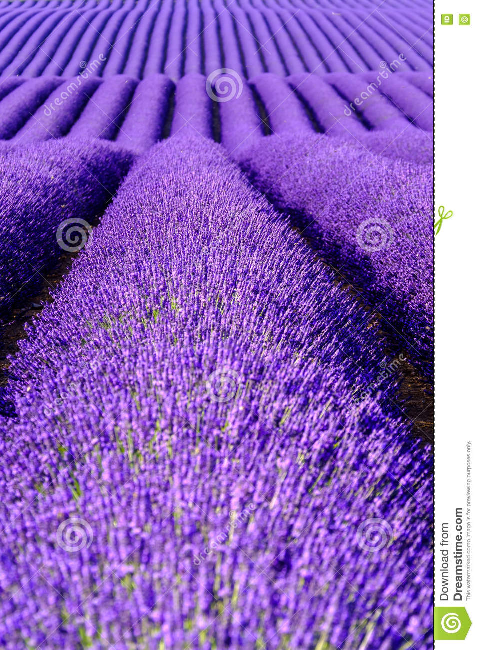 Photo About Lavender Flower Blooming Scented Fields In Endless Rows Valensole Plateau Provence France Europe Image In 2020 Lavender Flowers Images Of France Bloom
