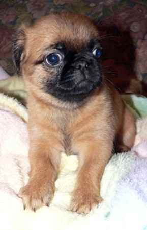 A Brug Puppy This Is What Beau Looked Like As A Pup Puppies