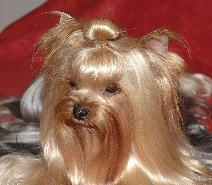 Dog On Top Preparation Of The Topknot Yorkshire Terriers