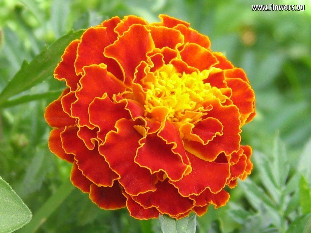 Marigolds For All Flower Beds Repel Insects And Pests Flower
