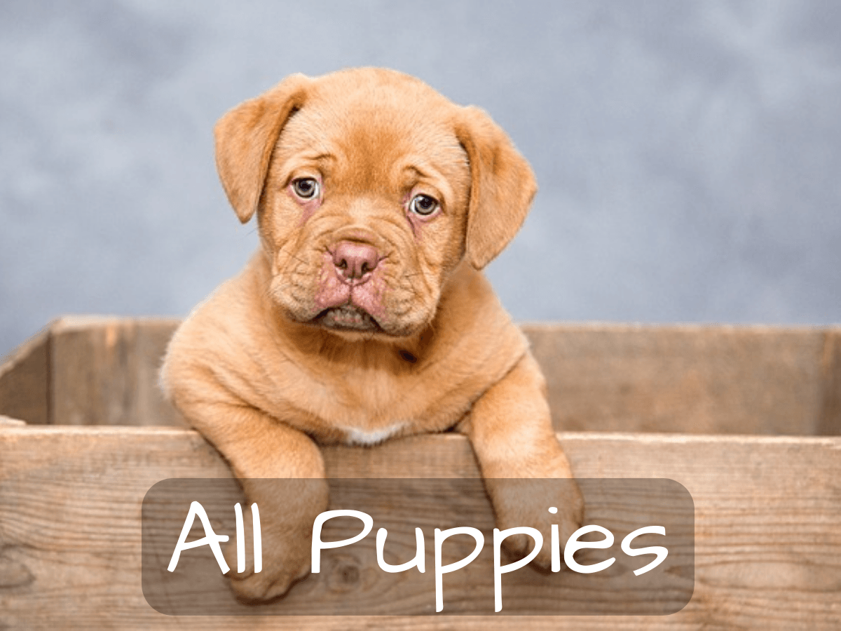 Breeders Club Of America Puppies For Sale In New Jersey Puppies For Sale Puppies Cute Baby Animals
