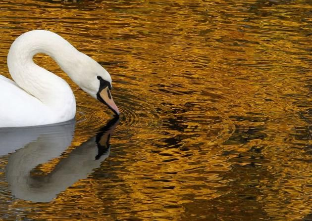 A white swan swims in a pond at the Summer Garden in central St. Petersburg. The Summer Garden, once a favourite place of the Russian Tsars, is now a popular place to rest for locals and tourists.