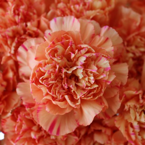 Gorgeous Coral Carnations Carnations Carnation Flower Flowers