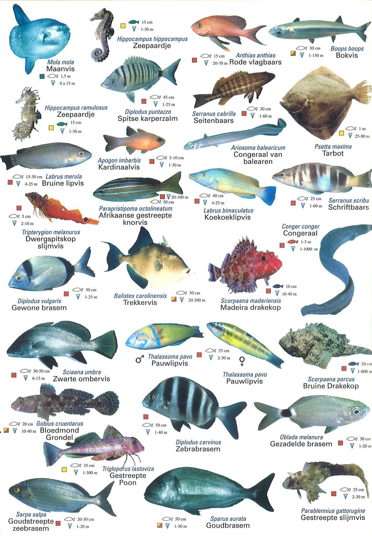 Middellandse Zeedieren Kaart 3 Zeevissen Vissen Zeedieren