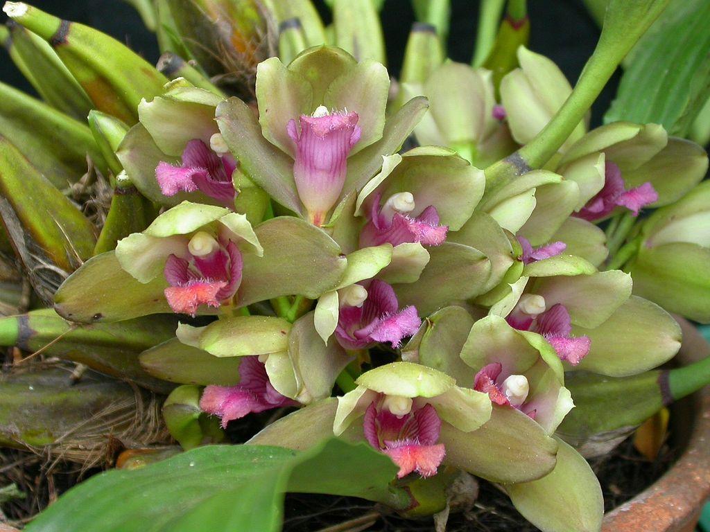Bifrenaria inodora orchids pinterest orchid plants and flowers