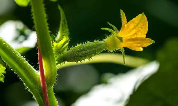the little green gherkin for cucumber plant in macro mode