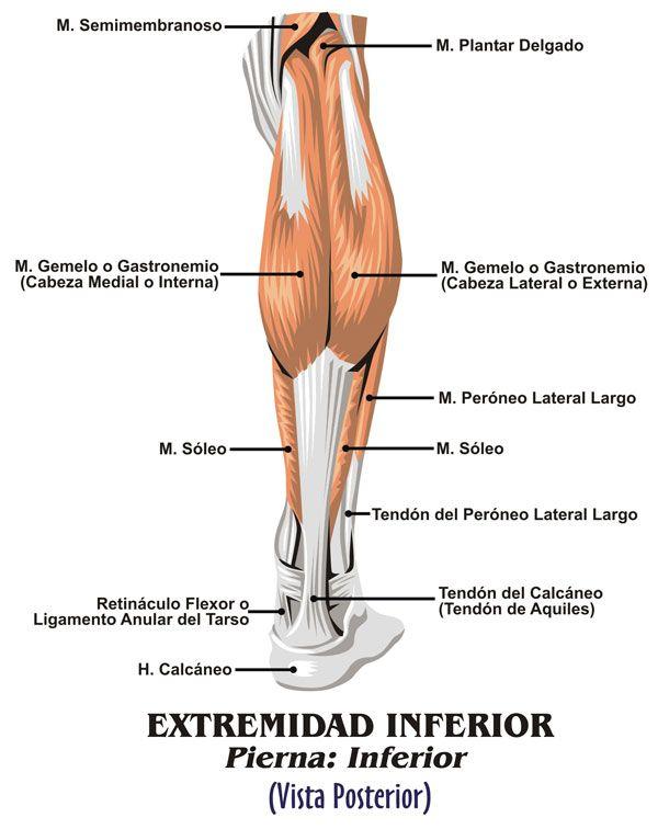 Músculos pierna abajo detras | Anatomía Piernas | Pinterest