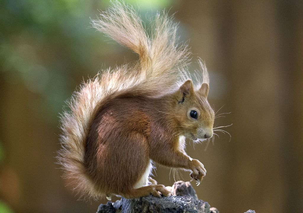 Red squirrel. by Richard McManus on 500px Red squirrel