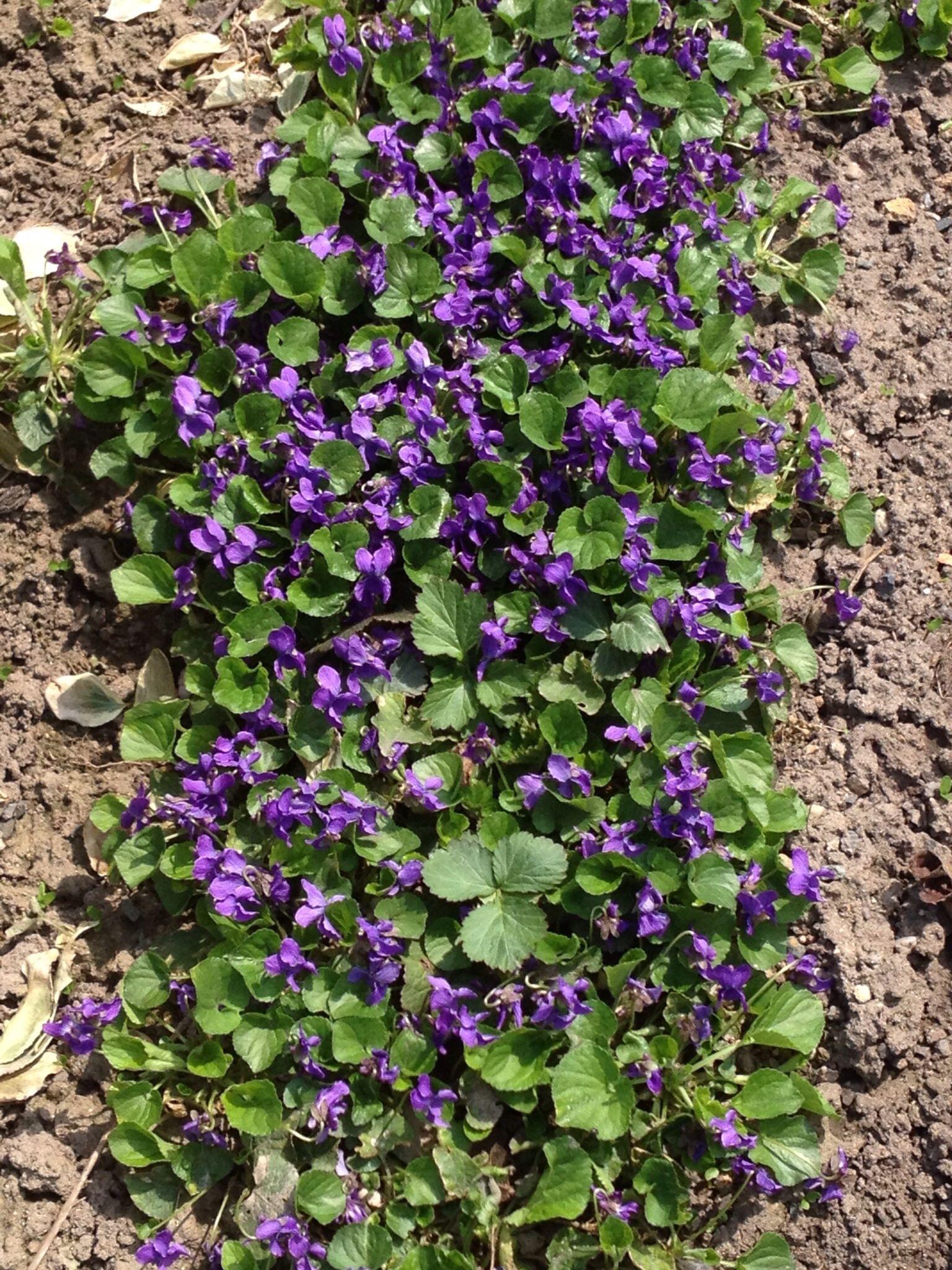 Veilchen Veilchen Garten Blumen