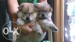 Pure Chowchow Female Blue Tounge Nego Animal Lover Japanese Spitz Reptiles And Amphibians
