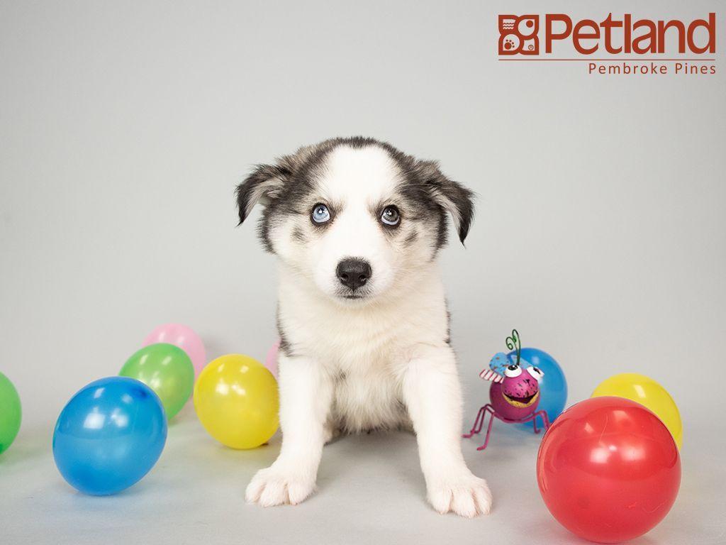 Huskimo Puppies For Sale Florida 2021