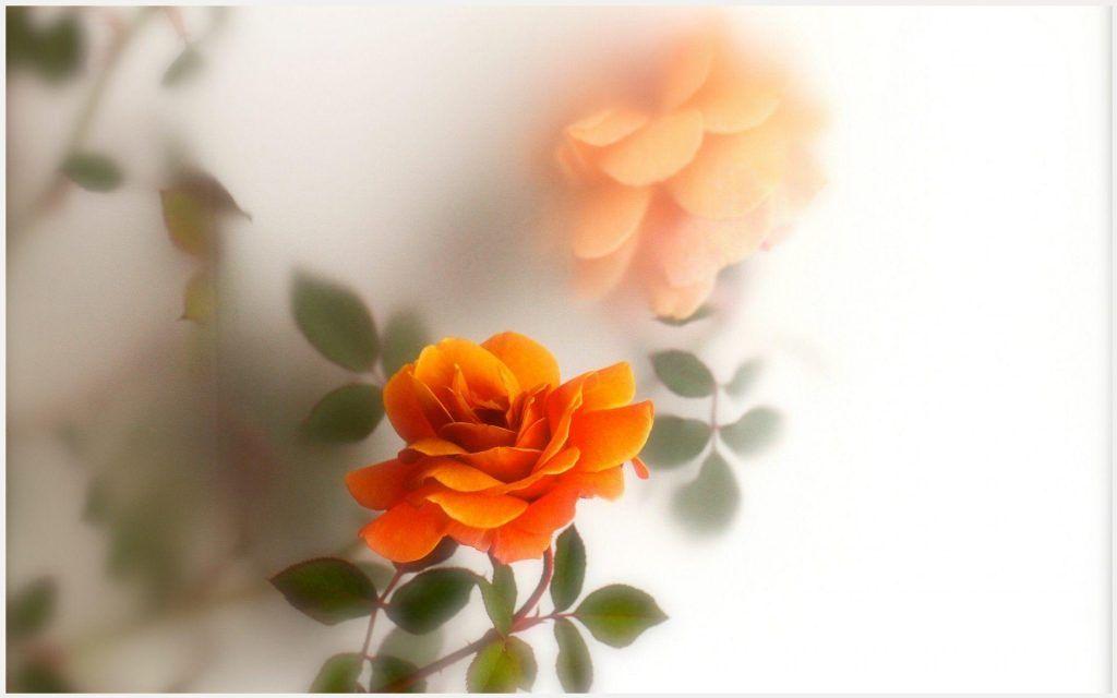 Orange Rose Wallpaper Orange Rose Flower Wallpaper Orange Rose