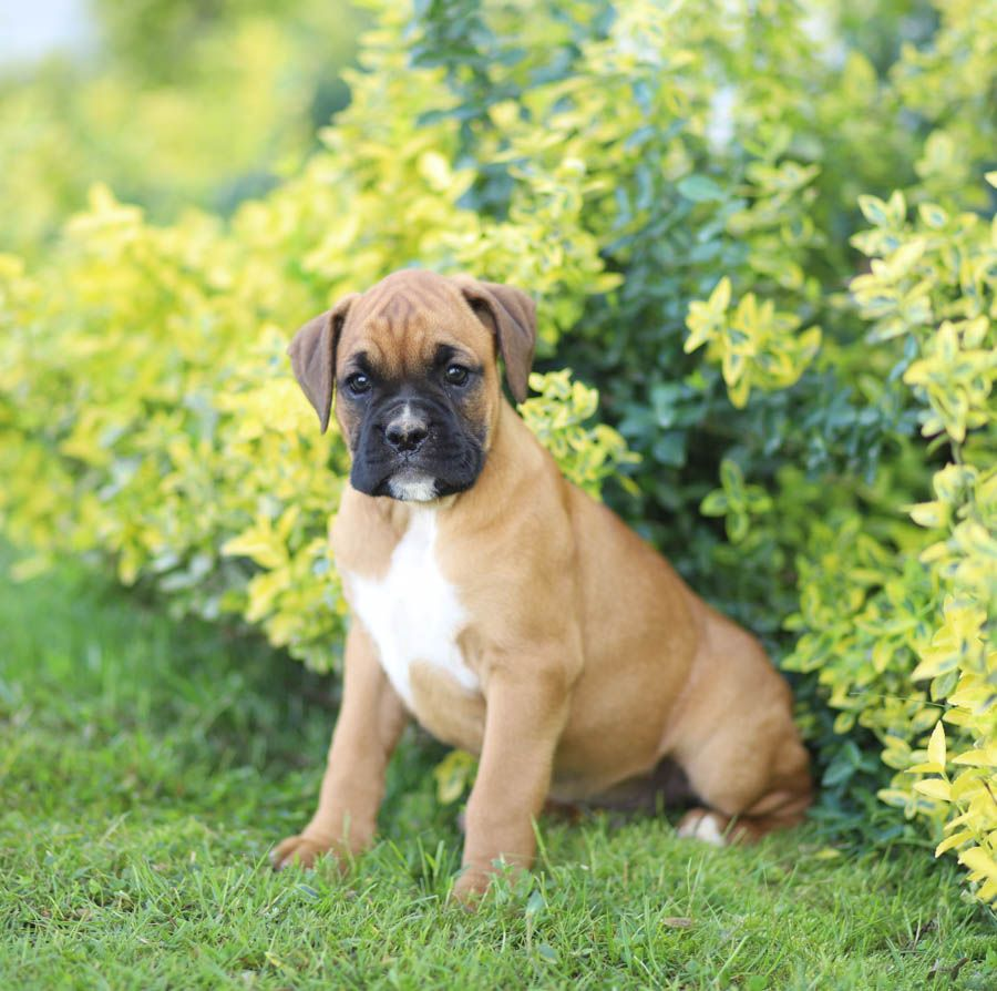 Boxer Puppies Are Handsome And Sweet The Upbeat And Cheerful Boxer Is A Great Familydog And Wonde In 2020 Boxer Puppies Boxer Puppies For Sale White Boxer Dogs