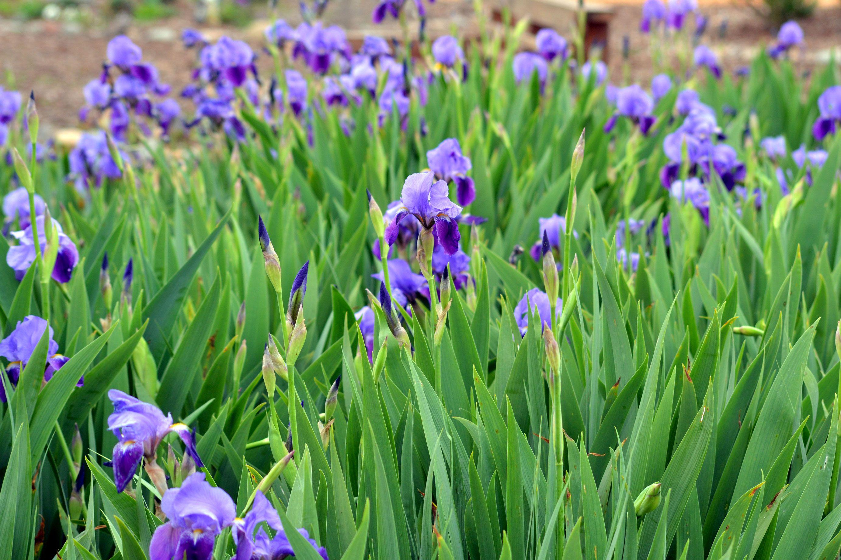 The language of flowers Iris Iris garden, Colorful