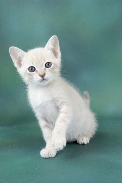 Australian Mist Kittens For Sale Taunton Somerset Pets4homes Races De Chats Animaux De Compagnie Animaux
