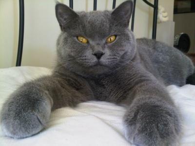 Destination Luxury Luxury Living Redefinedtop 10 Most Expensive Cat Breeds Destination Luxury British Shorthair Cats Cat Breeds Cats
