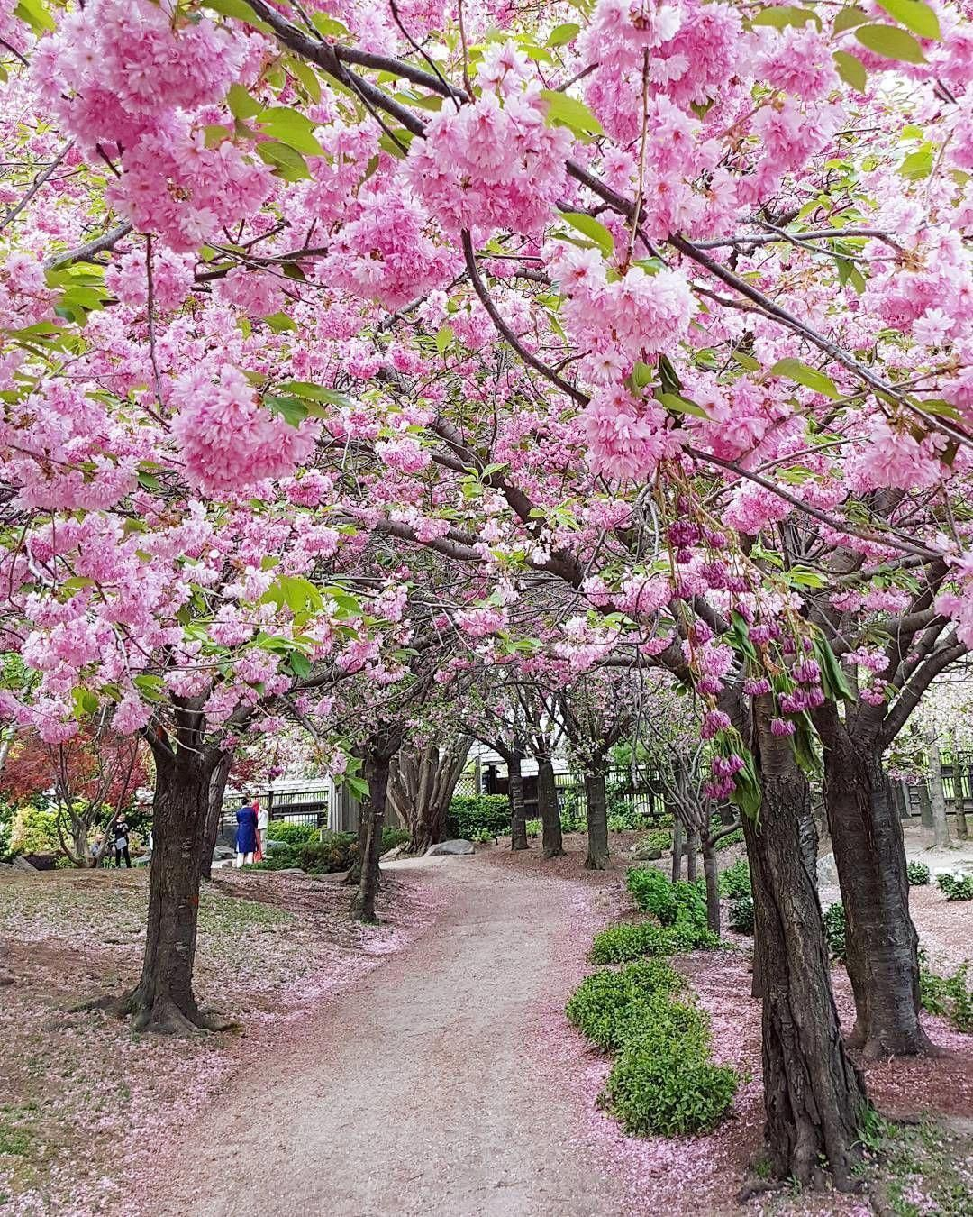 This Japanese Garden In Ontario Has Weeping Cherry Blossoms That Will Take Your Blossoms Cherry In 2020 Japanese Garden Garden Bonsai Tree Japanese Garden Design