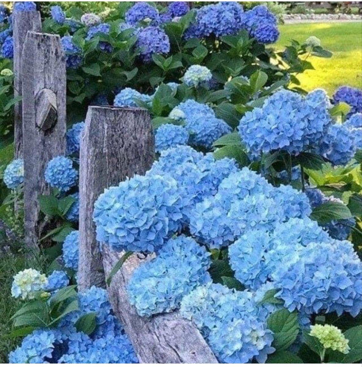 Hydrangeas For Sale In 2020 Hydrangeas For Sale Flowers For Sale Buy Hydrangeas