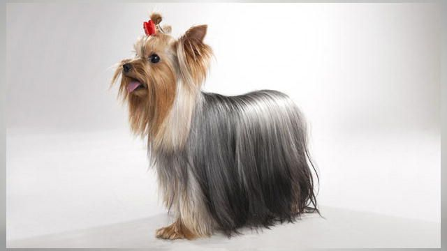 Yorkshire Terrier Dogs 101 Yorkshire Terrier Dog Yorkshire Terrier