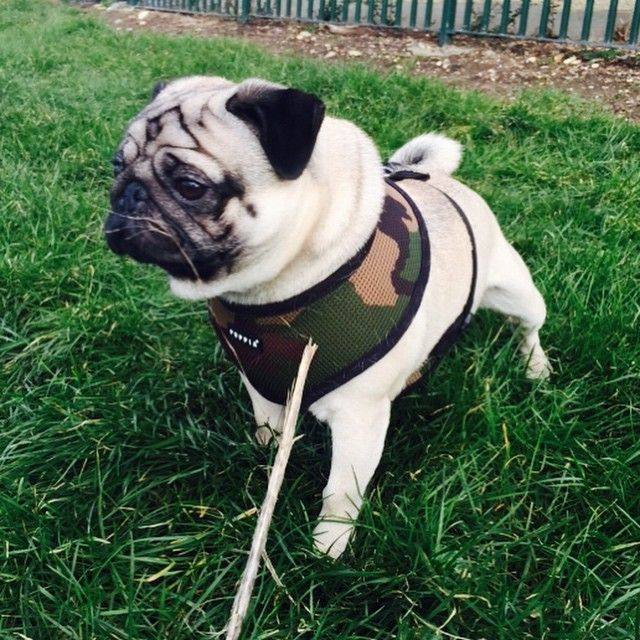 Puppia Camo Harness At Www Ilovepugs Co Uk Post Worldwide Pugs