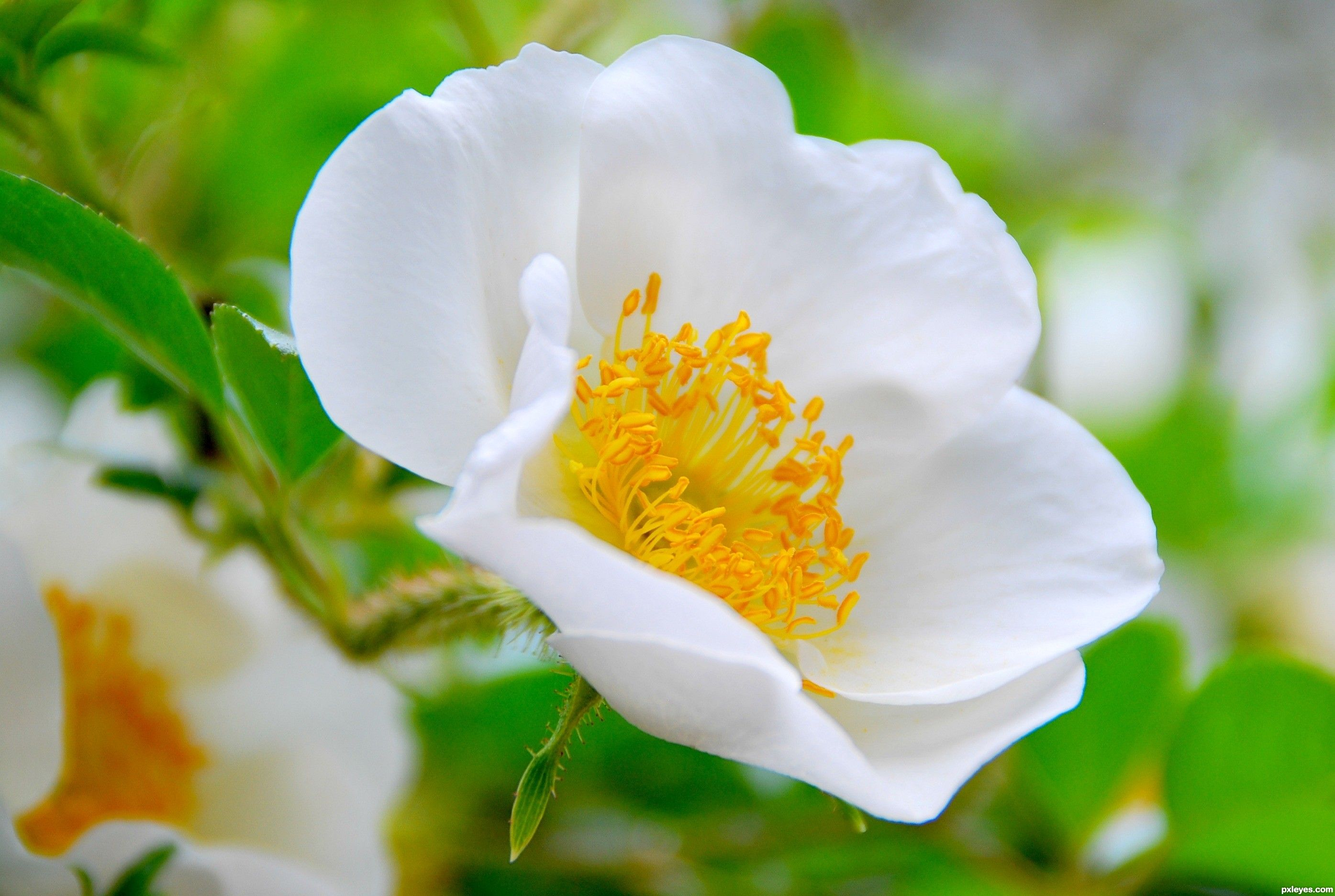 The State Flower Of Georgia Is The Cherokee Rose Hd Flower