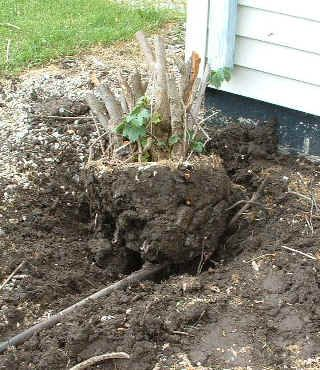 To Get Rid Of Evergreen Shrubs In Front House And The