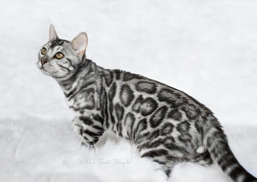 Bengal Kittens Cats For Sale Near Me Wild Sweet Bengals Bengal Cat Silver Bengal Cat Bengal Kitten