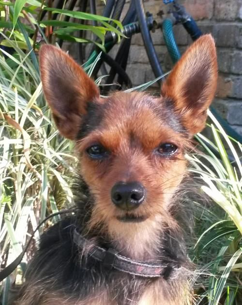 Adopt Rocket On Chihuahua Dogs Dogs Yorkshire Terrier