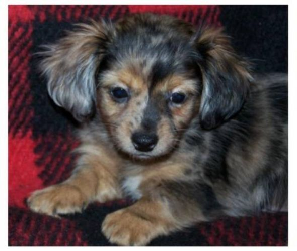 Chiweenie Chiweenie Puppies Chiweenie Cute Cats And Dogs
