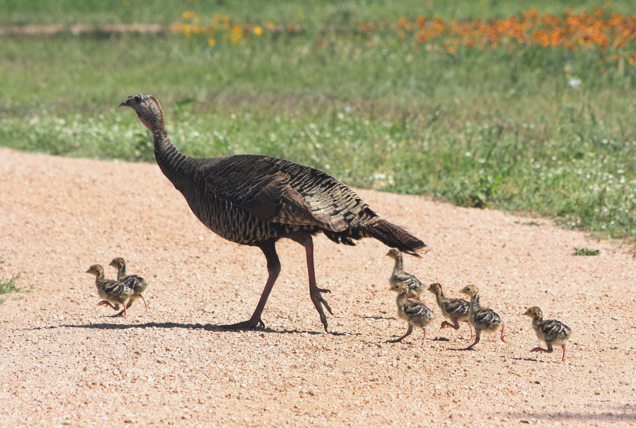 Rio Grande Turkey hen with her poults, walking across the